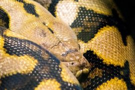reticulated-python-smaller-close-up