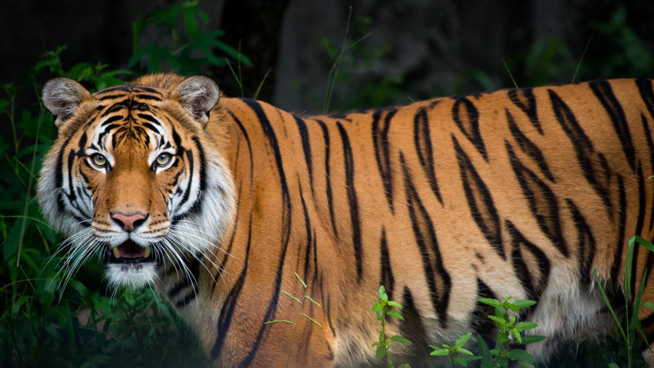 Berani the male Malayan tiger in habitat