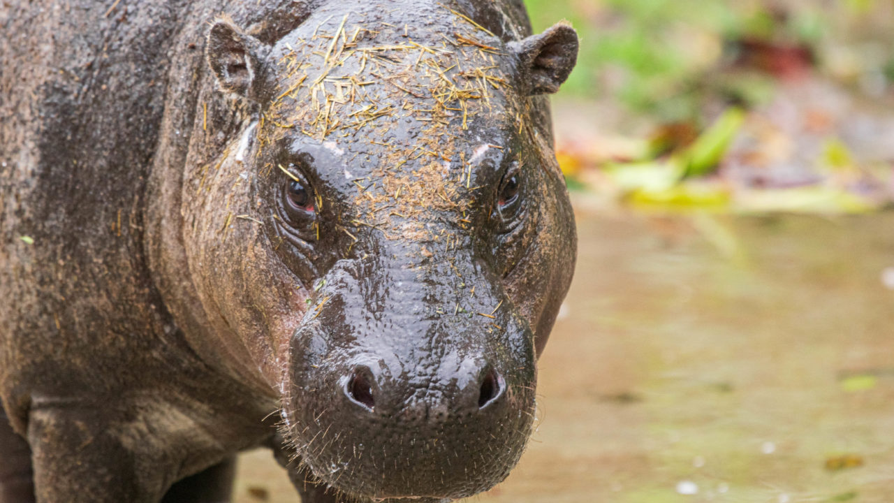 Silas the pygmy hippo outside standing in water