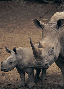 Global_Conservation_rhino_Tall_Tile