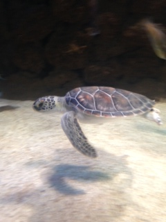 Come visit the Kipp Aquarium to see a wild green sea turtle being rehabilitated!