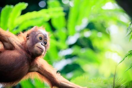orangutan-resize