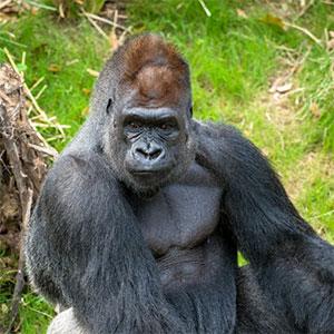 western-lowland-gorilla-animal-thumb-zuri