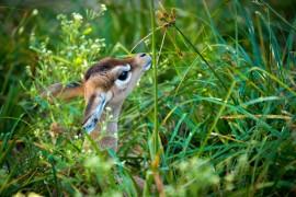 Baby Gerenuk January-0001-2242