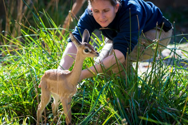 Baby Gerenuk January-0027-2466