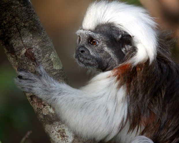 Cotton-top tamarin, which Proyecto Titi works to protect in the wild in Colombia