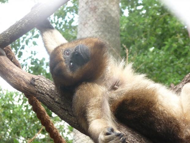 Garcia howler monkey