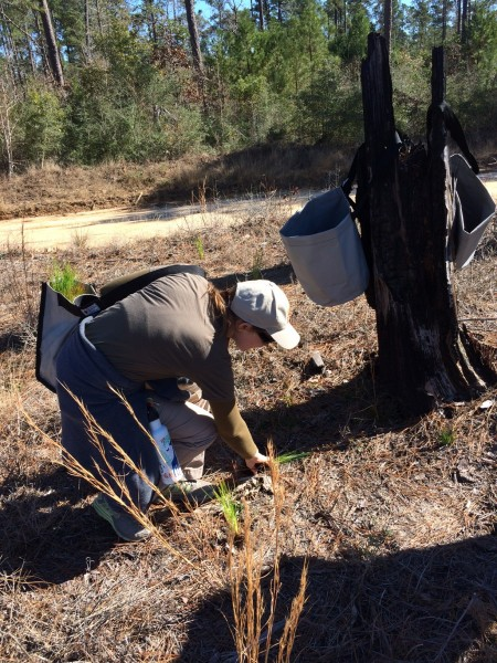 Zoo staff member, Andrea, places long-leaf pine seedlings in the ground.