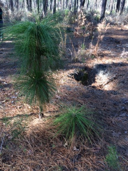 2 stages of long-leaf pine growth.