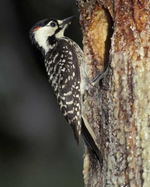 Red-cockaded woodpecker. Photo courtesy of Audubon.