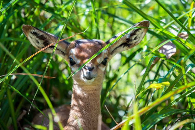 Baby Gerenuk January-0018-2377