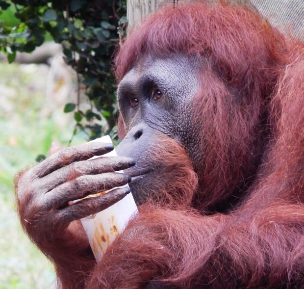 Orangutan Kelly enjoying using a raisin board