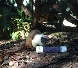 Pied tamarin Ricardo using a worm feeder