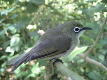 Bridled White-Eye, photo courtesy of Pacific Bird Conservation