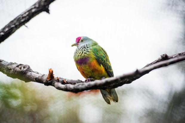 A beautiful Mariana Fruit Dove. Photo courtesy of Stephanie Adams, Houston Zoo.