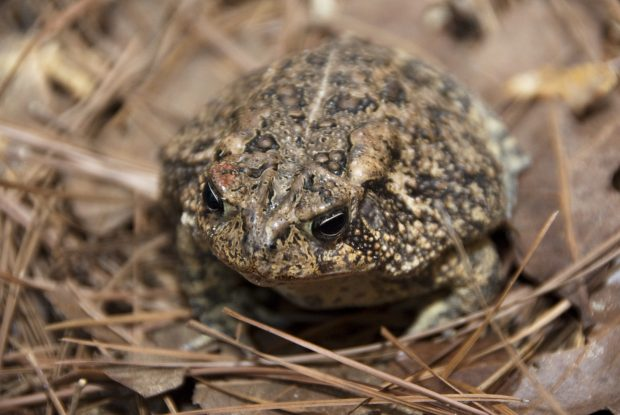 A Houston toad-a native Texas species, only found in tiny pockets of land in our state. Amphibians are critical bio-indicators, they alert us of potential issues in an ecosystem far earlier than other species.