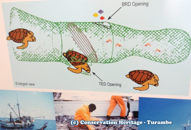Process of excluding sea turtles from a shrimp net.