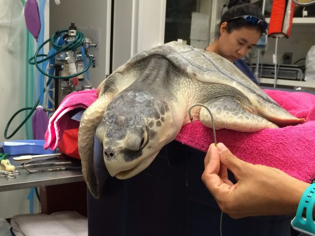 Large hook successfully removed! This sea turtle will now be rehabilitated by the team of biologists at NOAA-Galveston.
