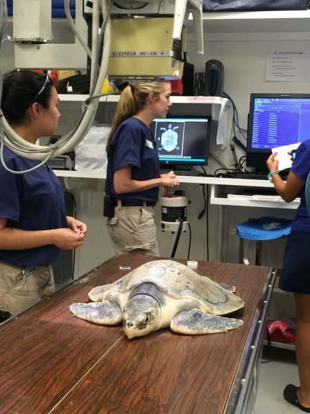 Kemp's ridley sea turtle getting x-rays at the Houston Zoo's vet clinic