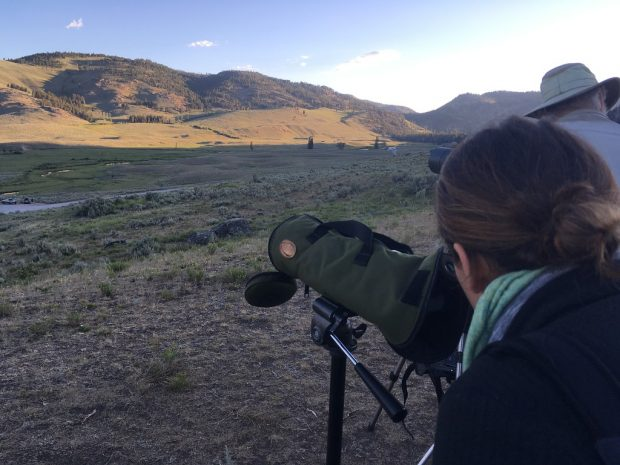 Observing Yellowstone's wolves through a scope.