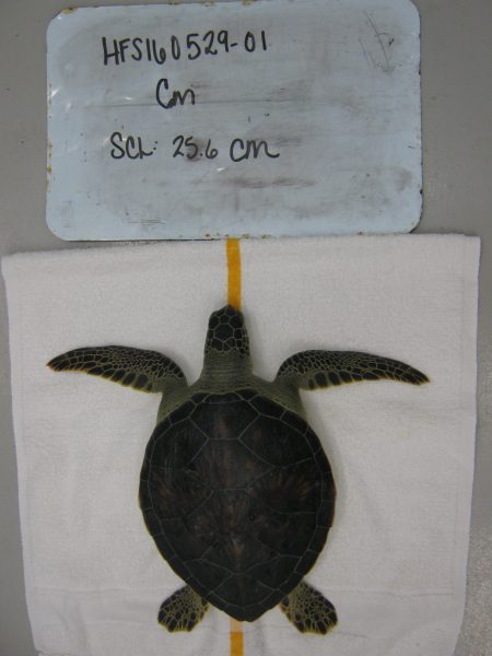 When a sea turtle is reported and picked up by NOAA biologists, information is taken on the individual so staff can keep track of when it came in, when it is released, its' size, etc.