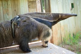 baby-anteater-0002-4491