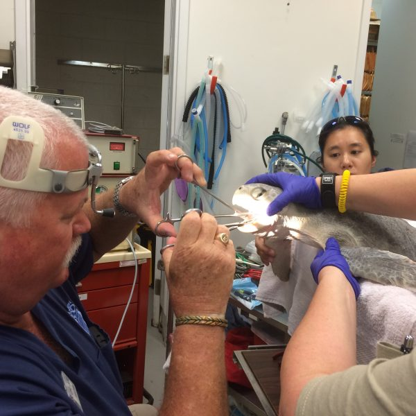 Houston Zoo vet team removing a fishing hook from a sea turtle caught by accident in Galveston