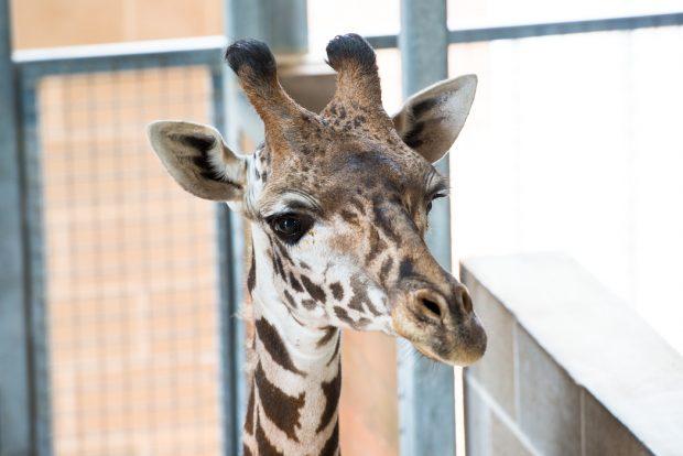 masai-giraffe-joshua