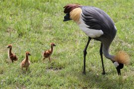 grey-crowned-crane-chicks