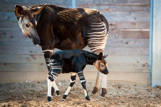 baby-okapi-0003-3141