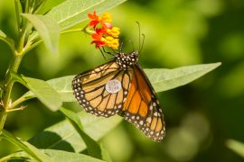 monarch-butterfly-tagged-0003-0125