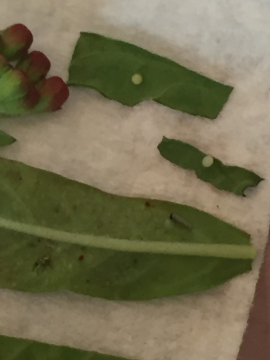 Monarch eggs ready to hatch