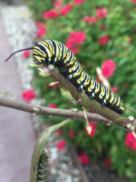 Monarch caterpillar ready for a close up