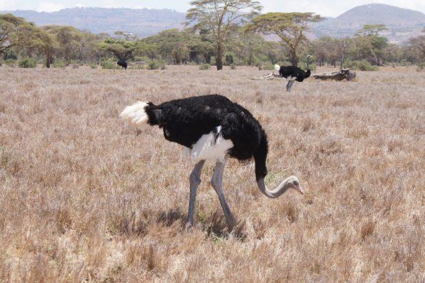 ostrich-lewa