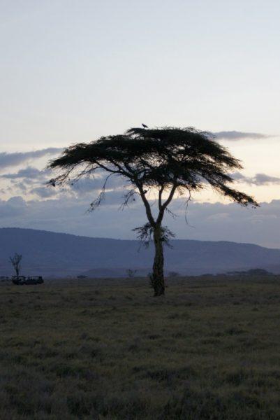 tree-lewa
