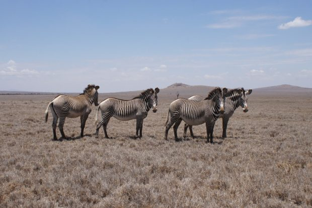 zebra-lewa