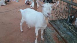 National Dairy Goat Awareness Week - The Houston Zoo