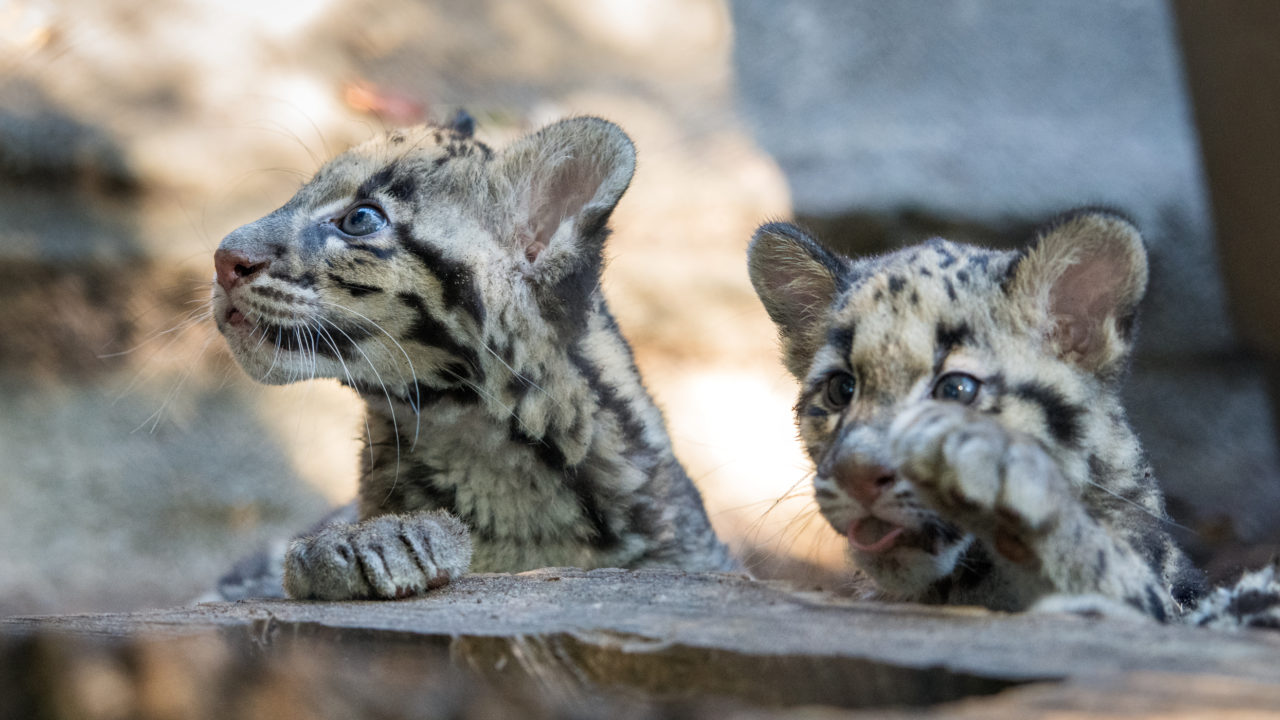 clouded leopard cubs on tree log