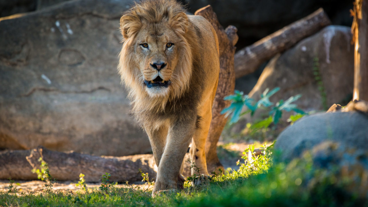 male African lion walking outside in habitat