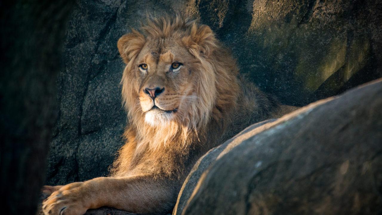 male lion Hasani lying down on rock