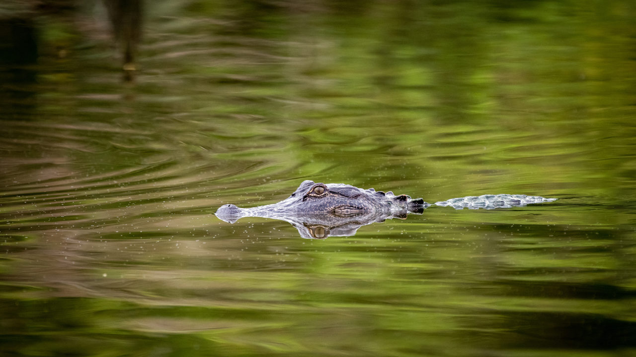 american alligator swimming in water