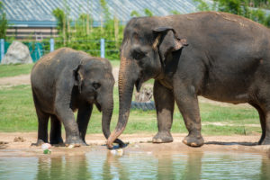 young Asian elephant with adult Asian elephant near water