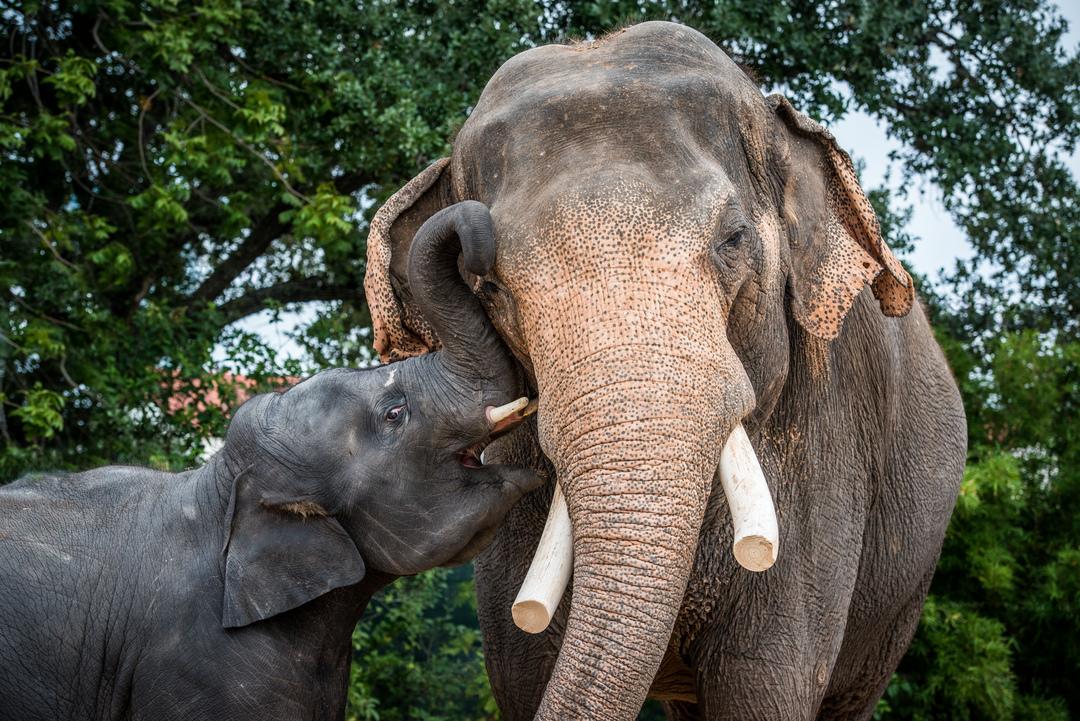 Asian Elephant The Houston Zoo