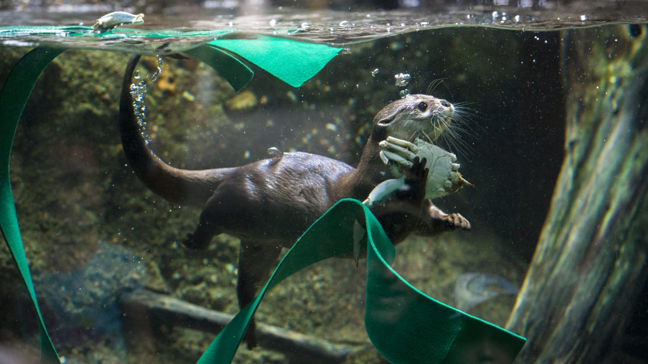 Asian small-clawed otter under water with enrichment
