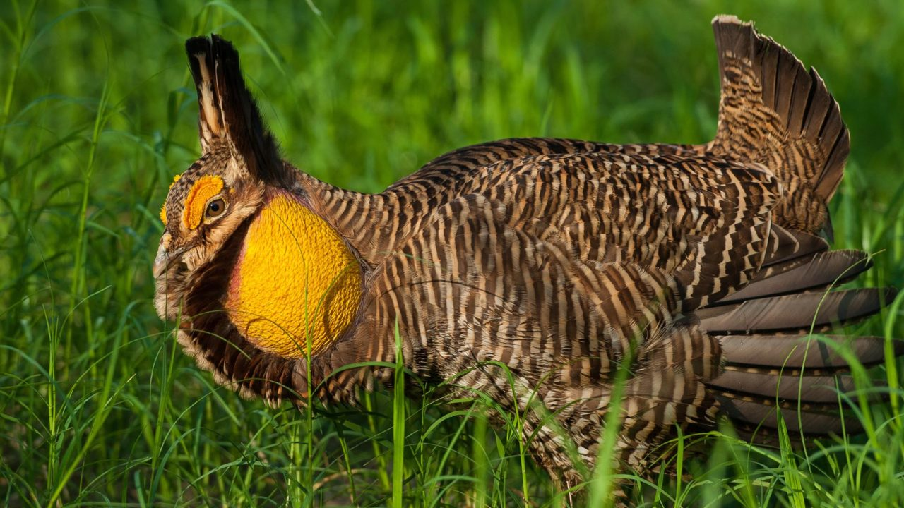 male Attwater's prairie chicken sitting in grass in the wild