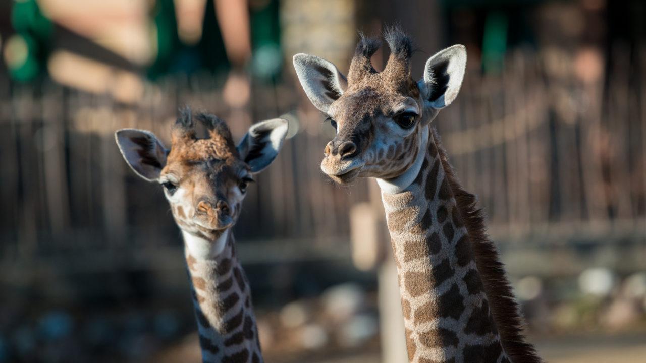 two baby masai giraffes