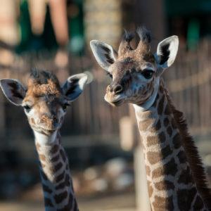 Membership - The Houston Zoo