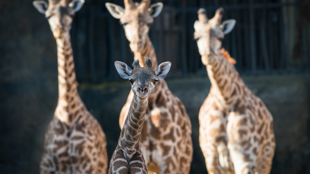 baby Masai giraffe with adult giraffes standing behind it