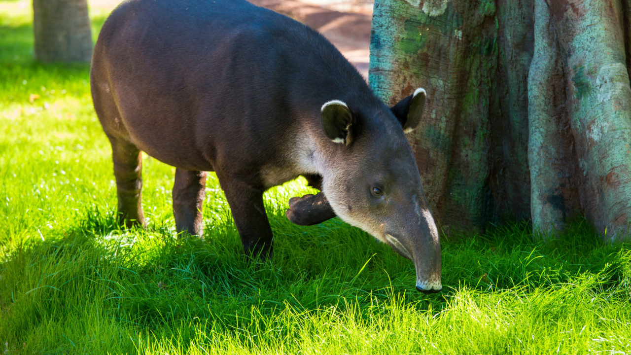 Baird's tapir sniffing grass while outside in habitat
