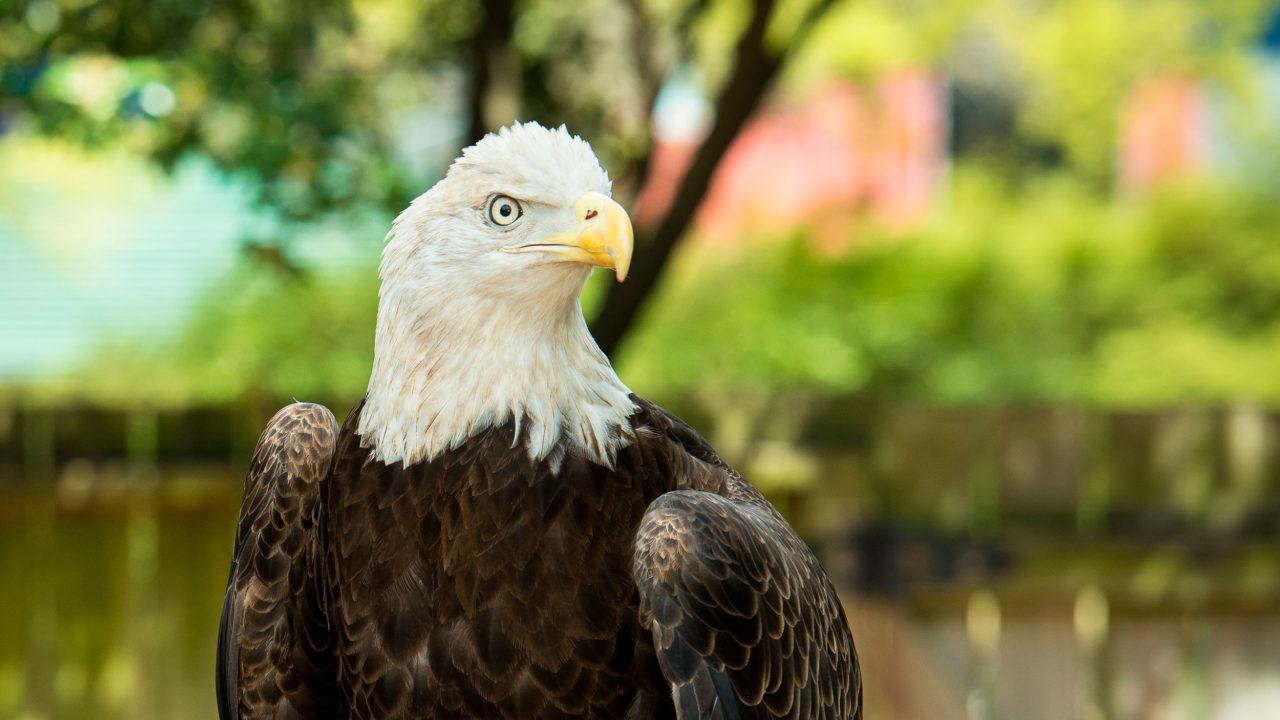bald eagle outdoors in habitat